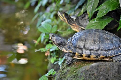 Serangan Turtle